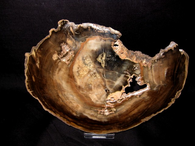 Triassic Age Petrified Wood Fossil from Zimbabwe South Africa
