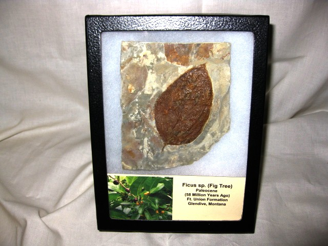 Paleocene Age Fossil Ficus sp. Leaf from Glendive Montana