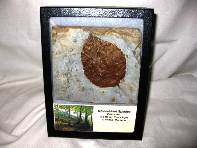 Paleocene Age Fossil Unidentified Leaf from Glendive Montana
