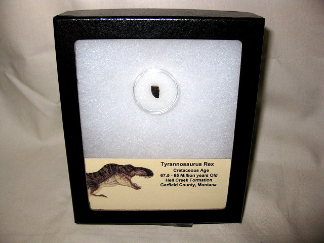Cretaceous Age Fossil Tyrannosaurus Rex Dinosaur Tooth from the Hell Creek Formation of Montana