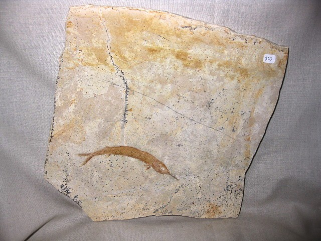 Fossil Jurassic Age Belonostomus Fish from the Konservat-Lagerstätte of Solnhofen Germany