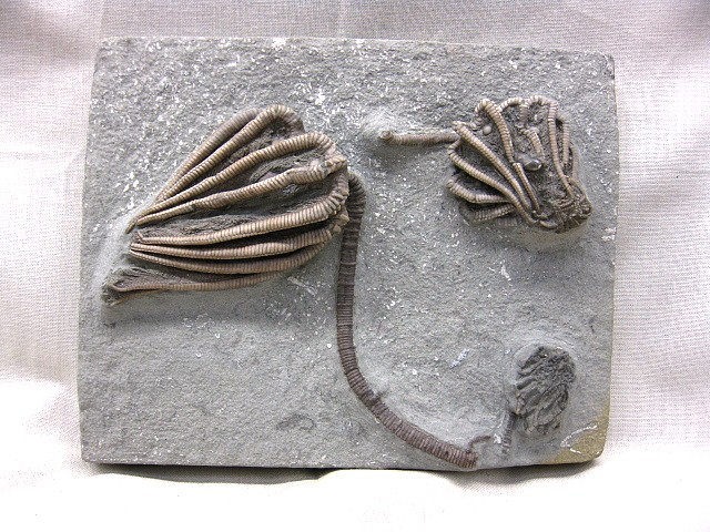 Fossil Mississippian Age Agariocrinus americanus Mass Mortality Crinoid Plate from Crawfordsville Indiana