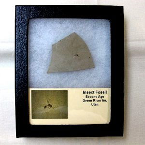 Fossil Eocene Age Insect from The Green River Formation of Utah