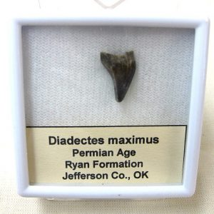 Fossil Permian Age Diadectes Amphibian Tooth from Oklahoma