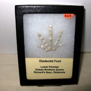 Fossil Permian Age Diadectid Amphibian Foot from Oklahoma
