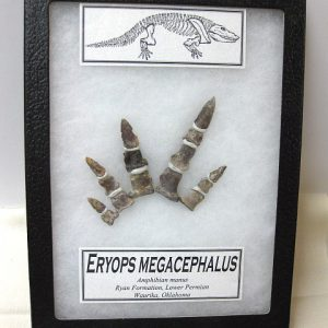 Fossil Permian Age Eryops Amphibian manus (hand) from Oklahoma