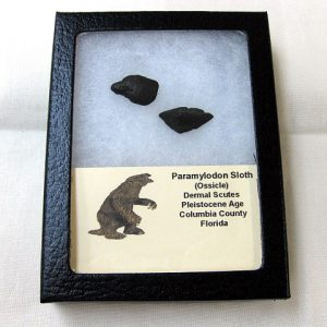 Fossil Pleistocene Age Paramylodon Sloth Ossicle (Dermal Scute) from Florida