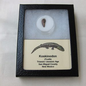 Fossil Triassic Age Koskinodon Amphibian Tooth from New Mexico