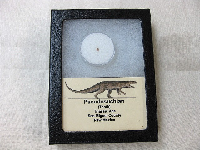 Fossil Triassic Age Pseudosuchian Dinosaur Like Reptile Tooth from New Mexico
