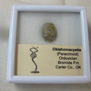 Fossil Ordovician Age Oklahomacystis Paracrinoid from the Bromide Formation of Oklahoma