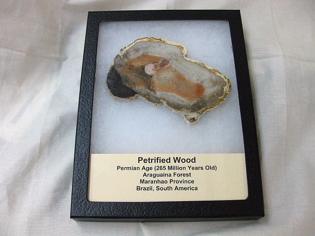 Fossil Permian Age Petrified Wood from South America