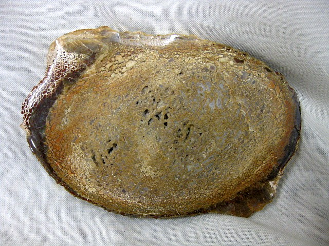 Fossil Jurassic Age Polished Dinosaur Bone from the Morrison Formation near Fruita Colorado