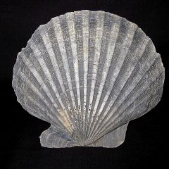 Pliocene Age Chesapecten Jeffersonius Bivalves from Virginia