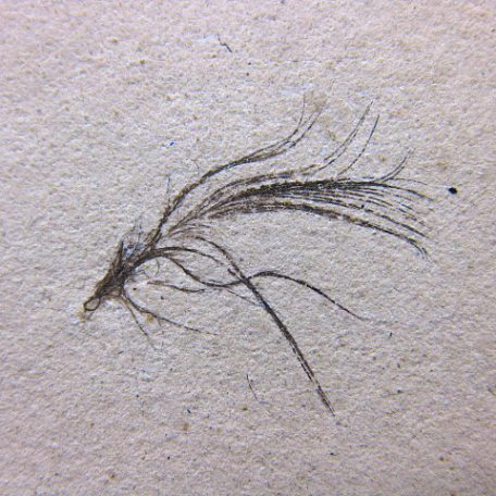 Cretaceous Age Fossil Feather from Crato Formation in Brazil