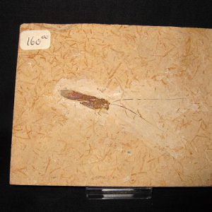 Cretaceous Age Fossil Insect from Crato Formation in Brazil #1