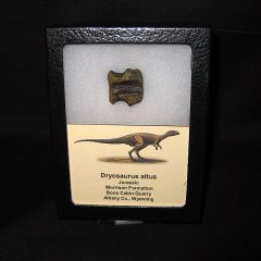 Jurassic Age Dryosaurus altus dinosaur bone from Bone Cabin Quarry Wyoming