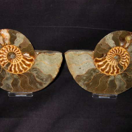 Cretaceous Age Cleoniceras Ammonte from Republic of Madagascar