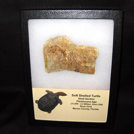 Pleistocene Age Soft Shelled Turtle Shell Section from Florida