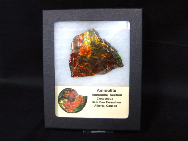 Gem Ammolite Canadian Placenticeras meeki Ammonite Display Specimen