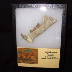 Oligocene Age Hoplophoneus Saber-Cat Jaw from South Dakota