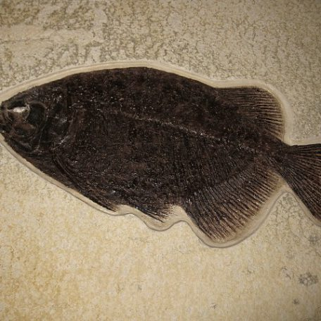 Eocene Age Fossil Priscacara Fish from the Green River Formation of Wyoming