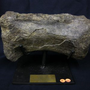 Jurassic Age Diplodocus Fossil Dinosaur Bone from Wyoming