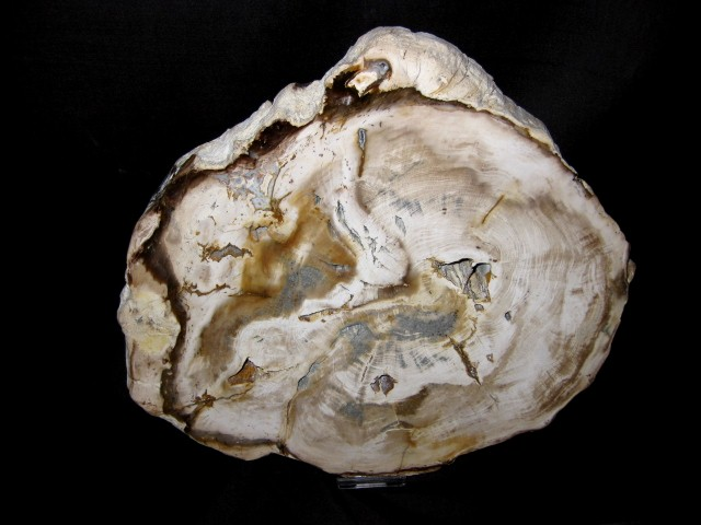 Miocene Age Bald Cyprus Petrified Wood Fossil from Washington