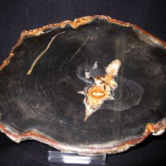 Oligocene Age Petrified Wood Fossil from Sweet Home Oregon