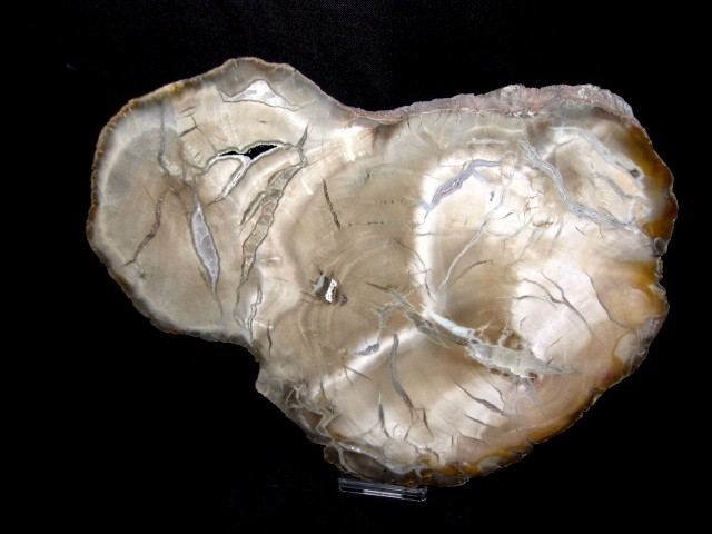 Triassic Age Woodworthia Petrified Wood Fossil from Arizona