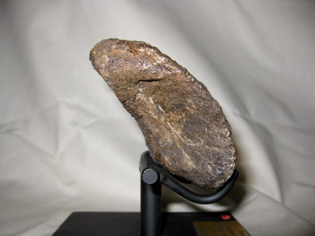 Jurassic Age Fossil Camarasaurus Dinosaur Claw from the Morrison Formation of Wyoming