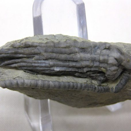 Mississippian Age Fossil Age Halysiocrinus tunicatus  Crinoid from the Edwardsville Formation of Crawfordsville Indiana