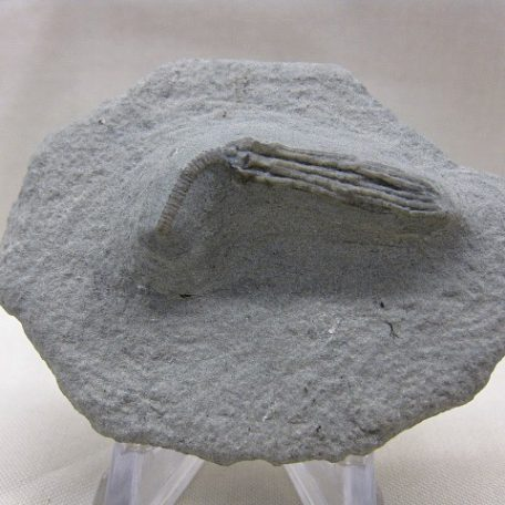 Mississippian Age Fossil Age Abrotocrinus occidentalis Crinoid from the Edwardsville Formation of Crawfordsville Indiana