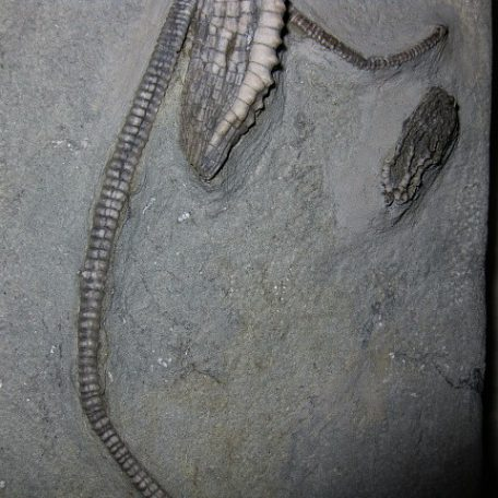 Mississippian Age Fossil Age Gilbertsocrinus dispansus  Crinoid from the Edwardsville Formation of Crawfordsville Indiana