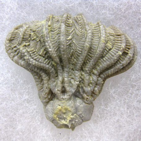 Mississippian Age Fossil Platycrinites penicillus Crinoid from the Monteagle Formation of Alabama