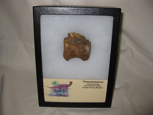 Thescelosaurus Fossil Dinosaur Bone from the Hell Creek Formation of Montana