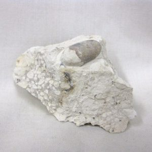 Eocene Age Fossil Snake Egg from Bouxwiller France