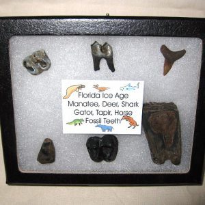 Ice Age (Pleistocene) Fossil Collection from Florida