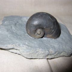 Fossil Silurian Platyostoma Gastropod From The Waldron Shale of Waldron Indiana