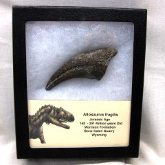 Fossil Jurassic Age Allosaurus Dinosaur Claw from The Morrison Formation of Bone Cabin Quarry in Wyoming