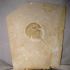 Fossil Jurassic Age Horseshoe Crab from Solnhofen Lagerstätte Limestone of Germany