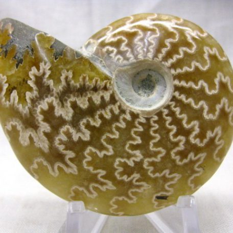 Fossil Cretaceous Age Small Whole Ammonite from Madagascar