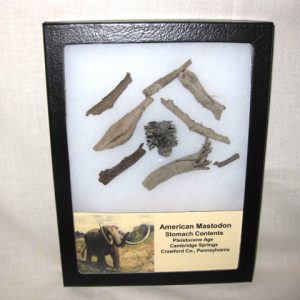 Fossil Pleistocene Age Mastodon Stomach Contents from Cambridge Springs in Crawford County Pennsylvania