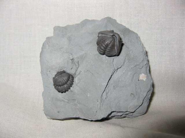 Fossil Ordovician Age Flexicalymene Retrosa Trilobite From Arnheim Formation In Highland County Ohio