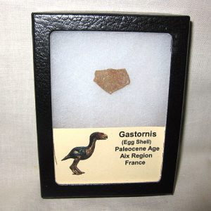 Fossil Paleocene Age Gastornis Flightless Bird Egg Shell From France