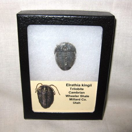 Fossil Cambrian Age Elrathia Kingii Trilobite From The Wheeler Shale of Millard County Utah