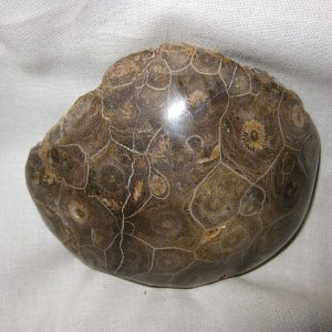Fossil Devonian Age Petoskey Stone Coral from Michigan