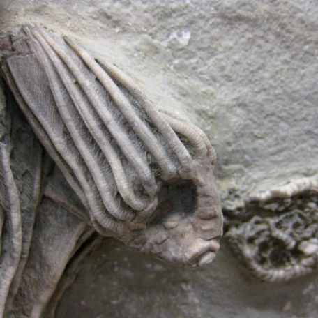 Fossil Mississippian Age Actinocrinites gibsoni Mortality Crinoid Plate from Crawfordsville Indiana
