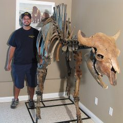 Fossil Pleistocene Age Bison Skeleton From Kansas