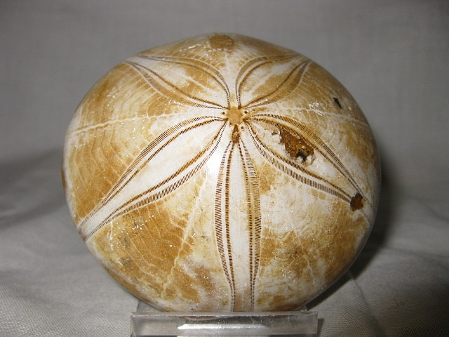 Fossil Jurassic to Cretaceous Age Holectypus Echinoid from Madagascar