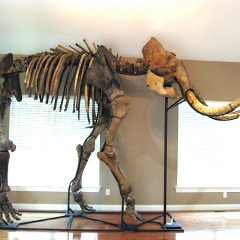 Fossil Pleistocene Complete Mammoth Skeleton from Alaska